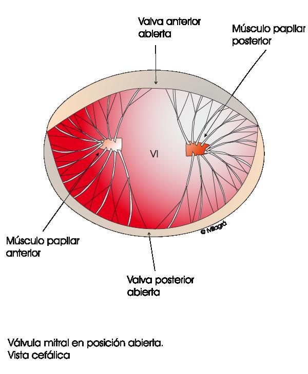 Valvulopatía Mitral - La web de las Cardiopatías Congénitas