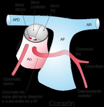 1.3.9.-coronaria-izquierda-del-seno-derecho