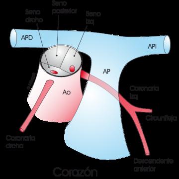 1.3.9.-coronarianormal